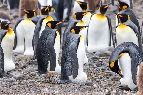 King penguins incubating eggs under their brood pouches.