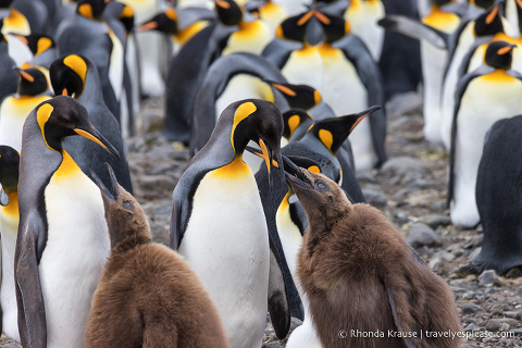 King penguins feeding their chicks.