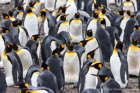 Group of king penguins on Salisbury Plain.