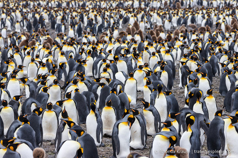 Tightly packed group of king penguins in the rookery at Salisbury Plain, South Georgia.