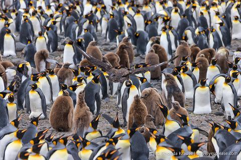 Skua flying above some king penguins.