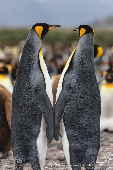 Pair of king penguins with their backs to the camera.