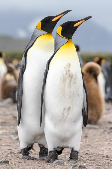 Pair of king penguins on Salisbury Plain.