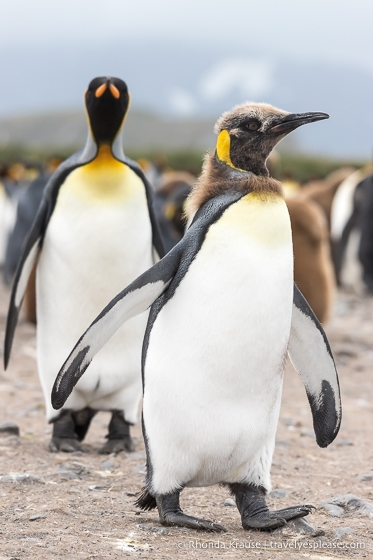 King penguin chick moulting its feathers.