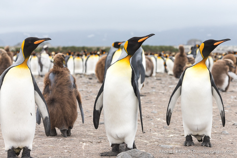 Three king penguins all looking to their left.
