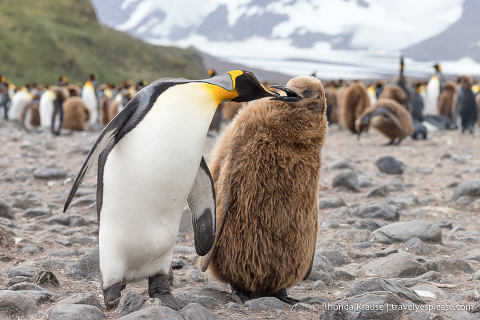 King penguin and its chick.