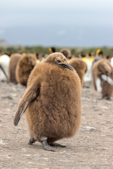 Short and fat king penguin chick with a thick coat of brown feathers.