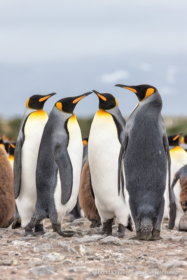 Group of four king penguins.