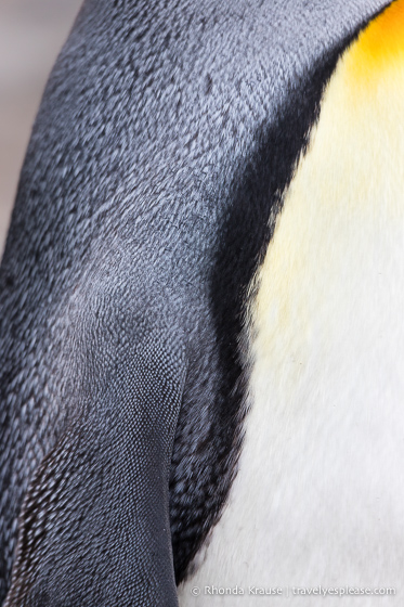 Close up of king penguin feathers.