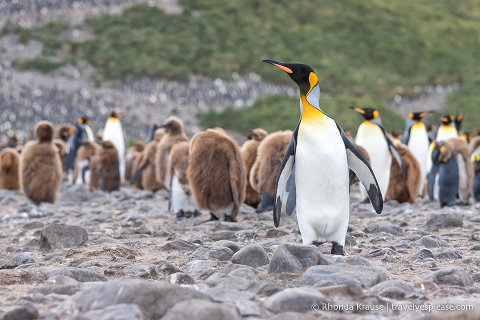 King penguin with the rookery in the background.