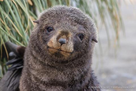 Close up of a fur sea pup.