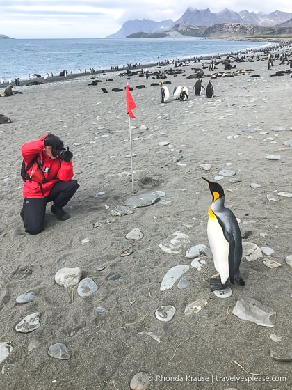 Photographing a king penguin on the beach at Salisbury Plain.