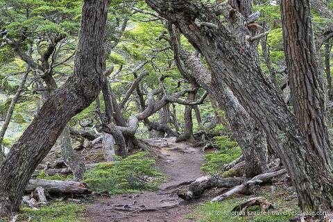 Beech trees framing a hiking trail in Tierra del Fuego National Park.