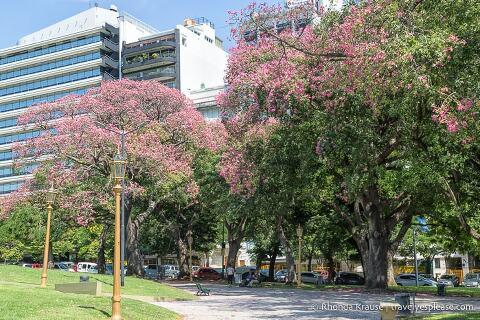 Pink blossoming trees in a park in Buenos Aires.